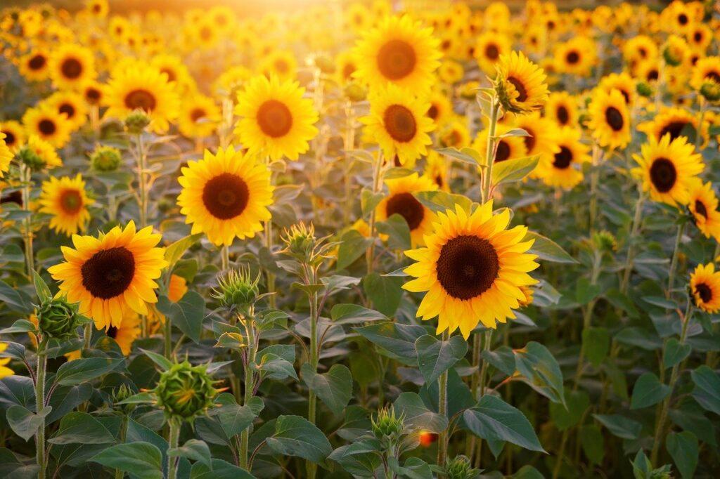 Fluid sunflower lecithin